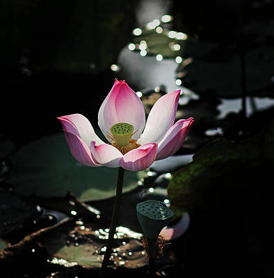 Photograph - Lotus Flower by Tran Minh Quan
