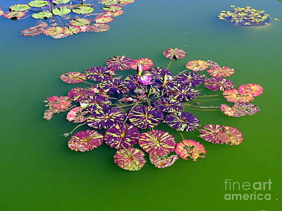 Photograph - Lotus Flowers #6 by Ed Weidman