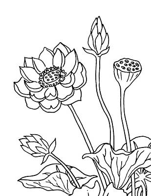Drawing - Lotus Flowers Drawing  by Irina Sztukowski