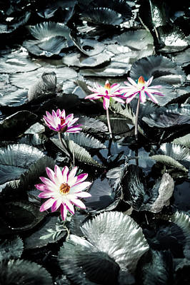 Photograph - Lotus Flowers by Randy Sylvia