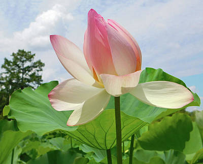 Photograph - Lotus High As The Sky by Emmy Marie Vickers