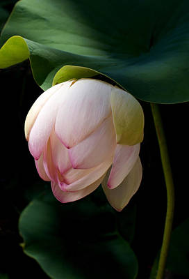 Lotus Leaves Photograph - Lotus In The Evening  by Catherine Lau