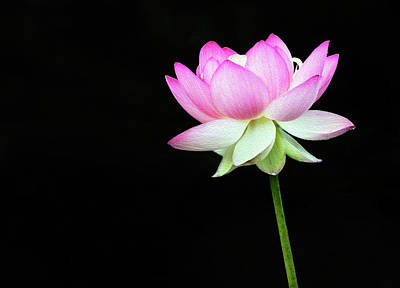 Photograph - Lotus In The Pink by Art Cole