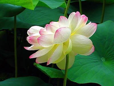 Photograph - Lotus In The Rain by Byron Varvarigos