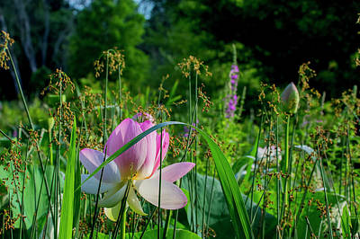 Photograph - Lotus Landscape 3 by Buddy Scott