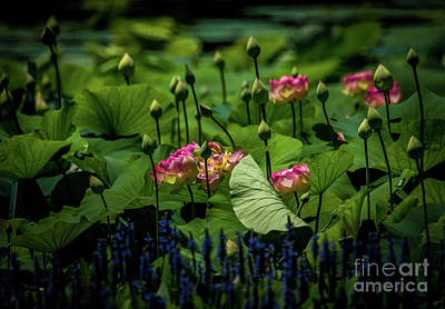 Photograph - Lotus Layers by Paul Mashburn