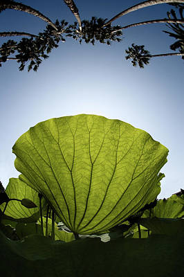 Photograph - Lotus Leaf by Harry Spitz