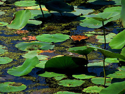 Photograph - Lotus Leaves 2 by Shawna Rowe