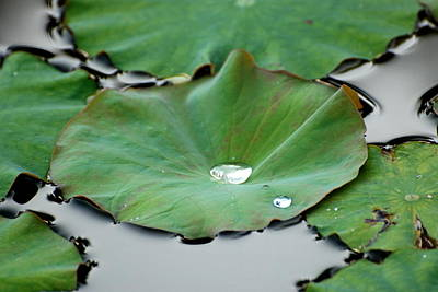 Photograph - Lotus Leaves With Water Drop by Douglas Pike