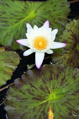 Photograph - Lotus by Lilian Forsyth