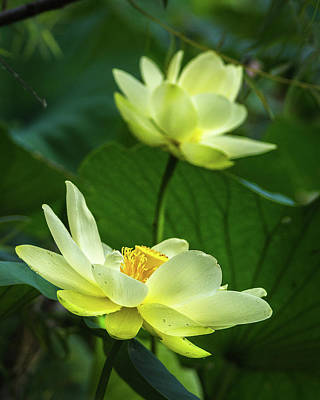 Photograph - Lotus Lovelies by Bill Pevlor