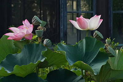 Photograph - Lotus Lovelies by Byron Varvarigos
