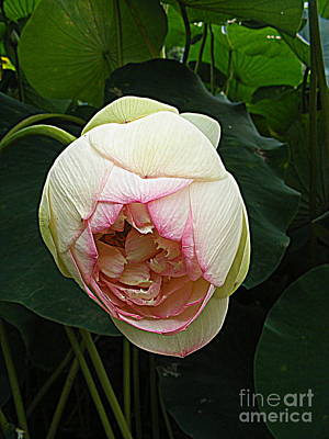 Photograph - Lotus Lovely 2 by Nancy Kane Chapman