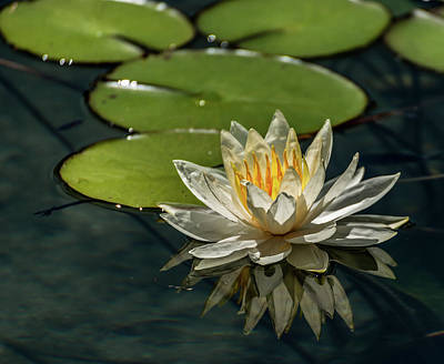 Photograph - Lotus by Martina Thompson
