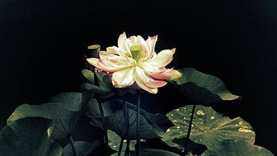 Photograph - Lotus Nelumbo by Jessica Jenney