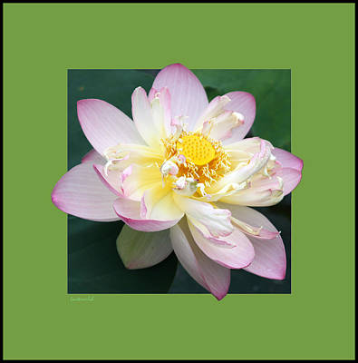 Photograph - Lotus On Green by John Lautermilch