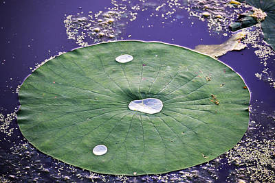 Photograph - Lotus Pad With Water Drops by rd Erickson