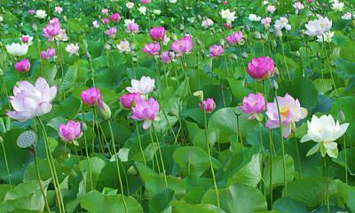 Photograph - Lotus Panorama by Ram Vasudev