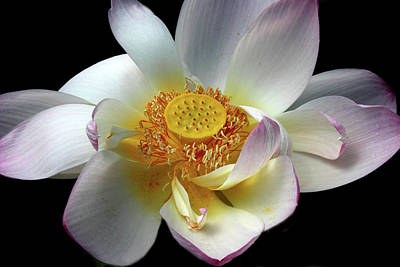 Photograph - Lotus Petals by Jessica Jenney