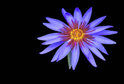 Photograph - Lotus by Philip Rispin