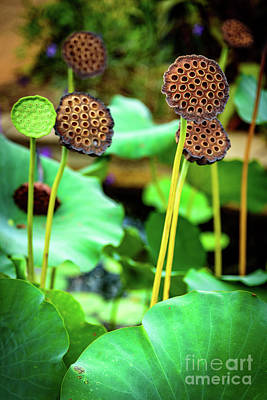 Photograph - Lotus Plant - Lotus Seed Pods by Global Light Photography - Nicole Leffer