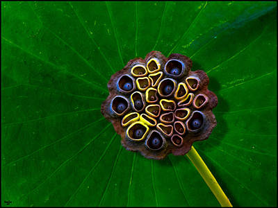 Photograph - Lotus Pod by Chris Lord
