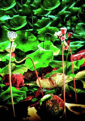 Photograph - Lotus Pond by Joseph Hollingsworth