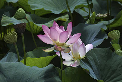 Photograph - Lotus by Raffaella Lunelli