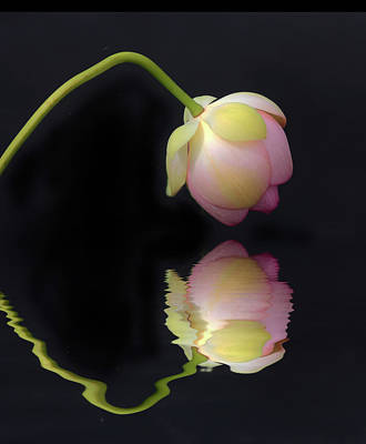 Photograph - Lotus Reflections by Jessica Jenney