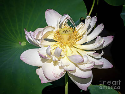 Photograph - Lotus Flower by Scott and Dixie Wiley