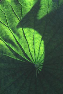 Lotus Leaves Photograph - Lotus Shadow Of Phoenix by Lian Wang