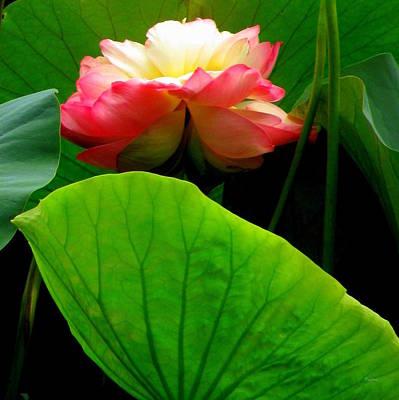 Photograph - Lotus Sheild by Deborah  Crew-Johnson
