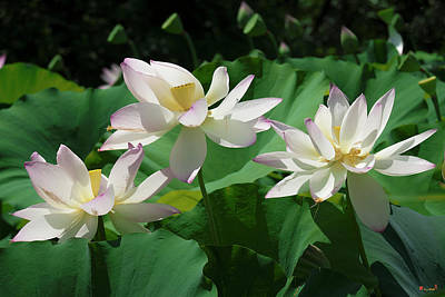 Photograph - Lotus--sisters Iv Dl0085 by Gerry Gantt