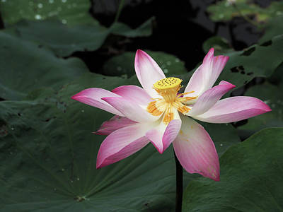 Photograph - Lotus by Tran Minh Quan