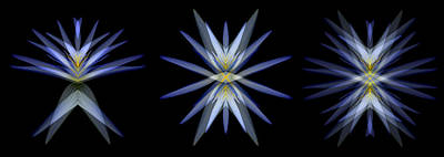 Photograph - Blue Lotus Transitions 4-5-6 by Wayne Sherriff