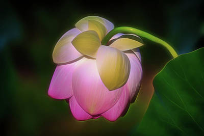 Photograph - Lotus, Upside Down  by Cindy Lark Hartman