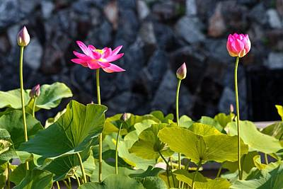 Photograph - Lotus Wall by Carol Montoya