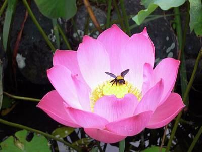 Photograph - Lotus With Bee by Alexandra Florschutz
