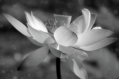 Lilies Mixed Media - Lotus With Bokeh Black and White by Georgiana Romanovna