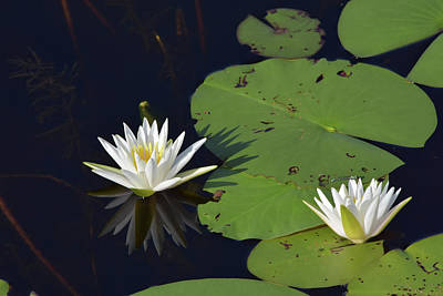 Photograph - Lotus With Reflection by William Tasker