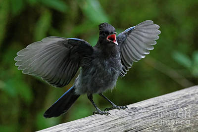 Photograph - Loud Stellers Jay by Sue Harper
