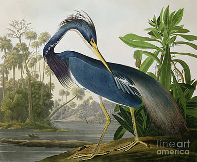 Engraving Painting - Louisiana Heron by John James Audubon