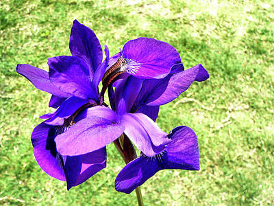 Photograph - Louisiana Iris In Alabama by Kathy K McClellan