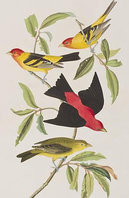 Scarlet Painting - Louisiana Tanager Or Scarlet Tanager  by John James Audubon