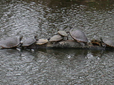 Photograph - Louisiana Turtles by Aggy Duveen