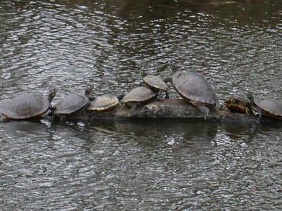 Photograph - Louisiana Turtles by Aggy Duveen