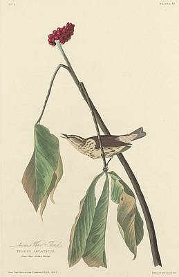 Louisiana Drawing - Louisiana Water Thrush by Dreyer Wildlife Print Collections