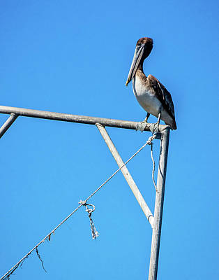 Photograph - Louisiana's State Bird by Andy Crawford