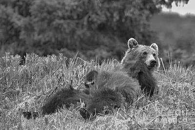 Photograph - Lounging Banff Grizzly Bear by Adam Jewell