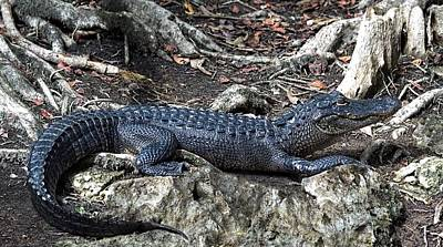 Swamp Thing Photograph - Lounging Gator by Chrystyne Novack